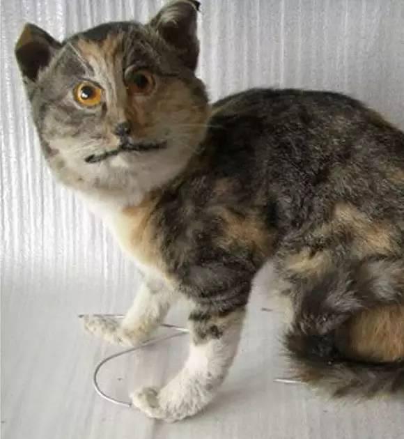 ▼      狮子的例子告诉我们   猫科动物是标本界最难驾驭的种类