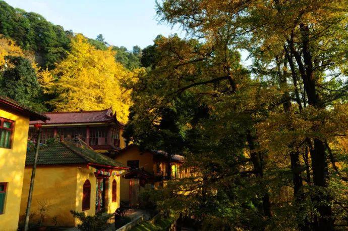成都最古老的银杏树位于都江堰青城山天师洞,树龄达到2500年.