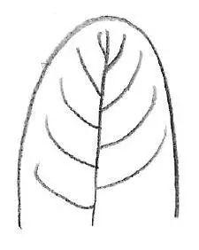 波状   钝齿状   锯齿状    叶子的形状      叶片图片