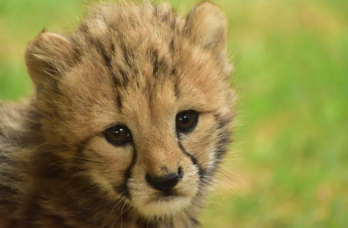 可爱的小豹子和妈妈一起玩耍,满脸可怜弱小又无助的小