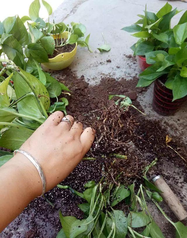 绿萝土培改水培的方法及注意事项