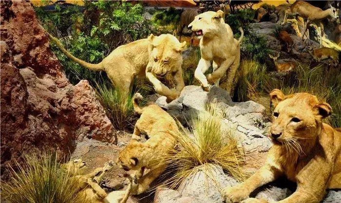 俏皮的幼狮打闹嬉戏,处于食物链顶端的它们,享受着大自然赐予自己的