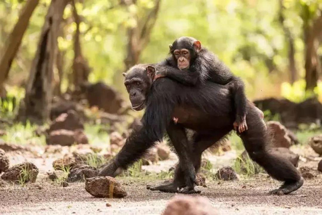 豆瓣评分高达9.7分的《王朝》!动物世界里的爱恨权谋一样精彩!