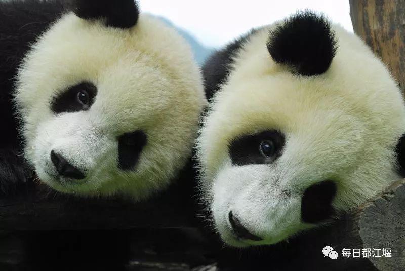 """一群活泼可爱的大熊猫,无忧无虑地""""穿梭""""于青山绿水之间,嬉戏玩耍"""