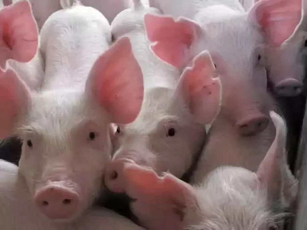 此前,农业农村部曾表示,受非洲猪瘟疫情影响导致的压栏生猪出栏量