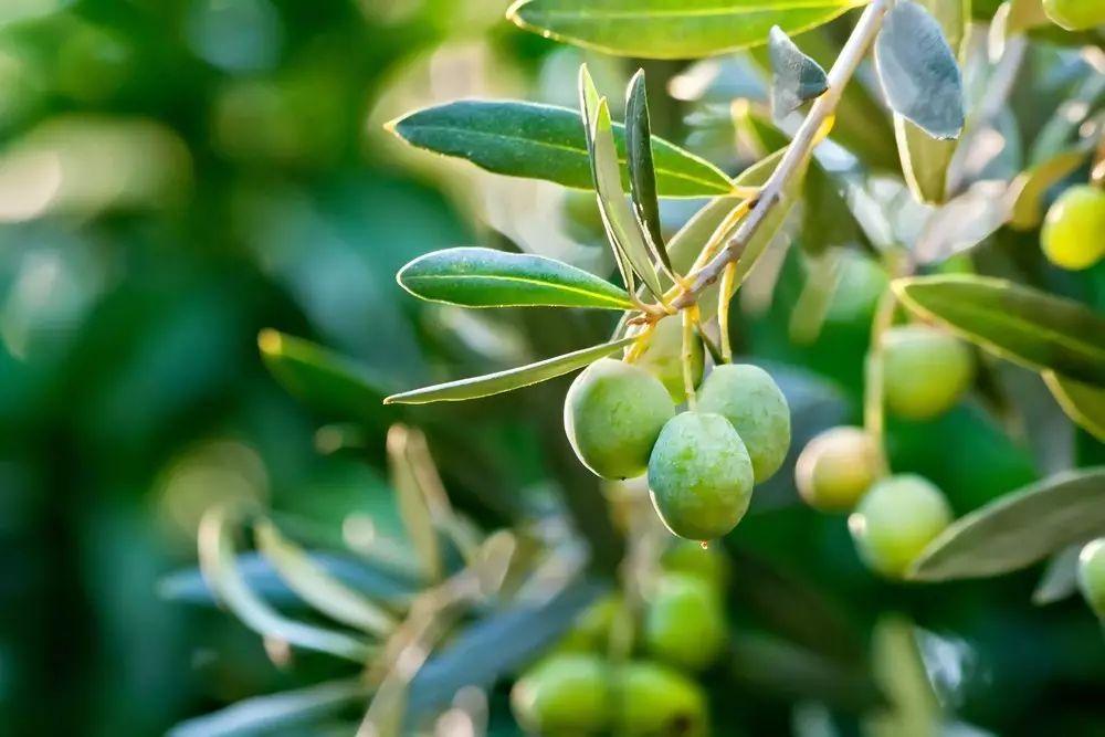 橄榄枝,可以结出橄榄吗? - 老泉 - 把酒临风的博客