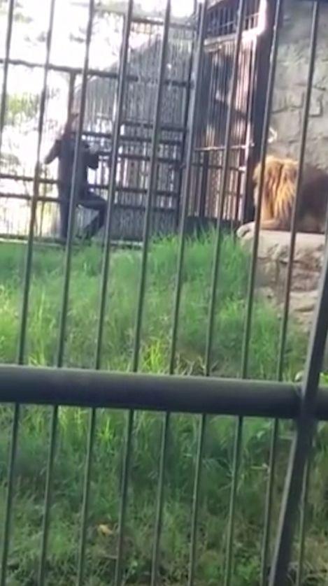 醉漢將手伸進動物園柵欄撫摸獅子,結果悲劇了……