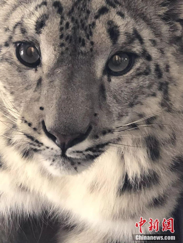 雪豹属国家一级保护野生动物,在自然界地位举足轻重.