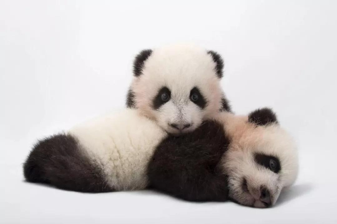 大熊猫幼崽   他想通过这些肖像照,将动物们最动人的一面
