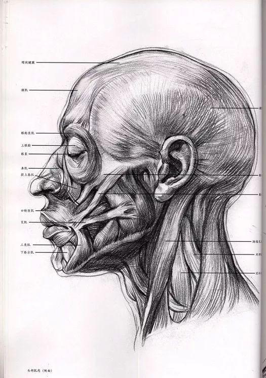 >>>【6】:3/4侧面头部肌肉与形体结构分析(p6↓)