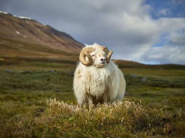 """在其中一张""""神圣动物""""的照片中,一只山羊把它的光亮的身体伸展"""