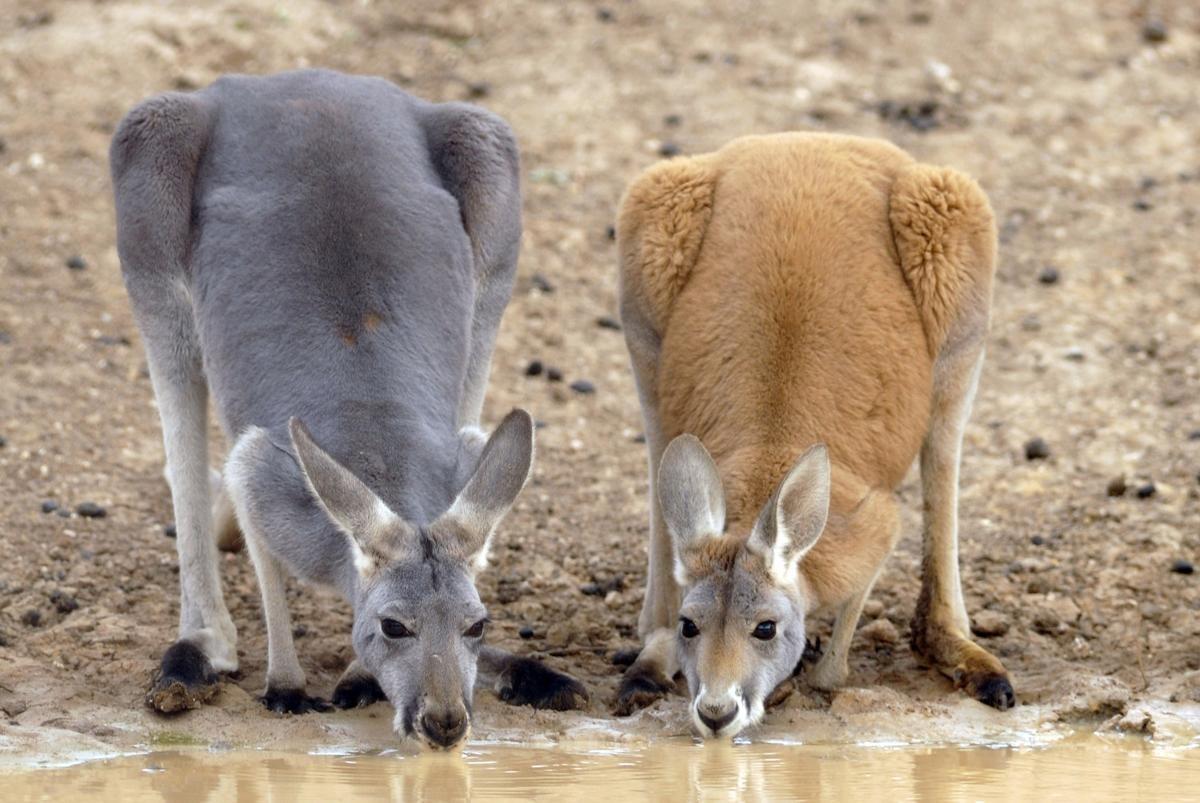 原产土澳的大兄贵:又大又红的袋鼠 - 老泉 - 把酒临风的博客