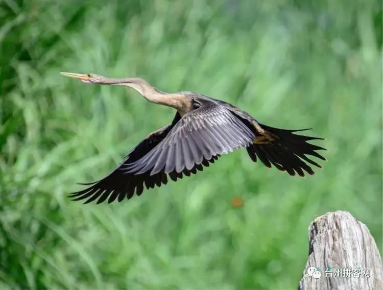 anhinga - 蛇鹈鸟 agami heron - 栗腹鹭,栖地为浓密森林中的小池塘