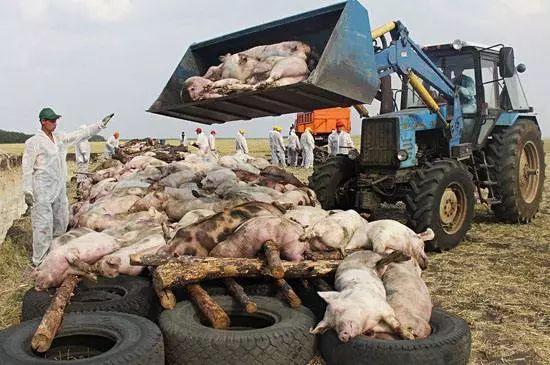 七地聯控非洲豬瘟 全面禁止餐廚剩余物喂豬