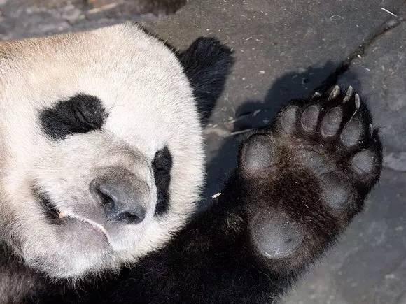 因为大熊猫和小熊猫几乎都靠吃竹子为生,这根多出来的拇指其实