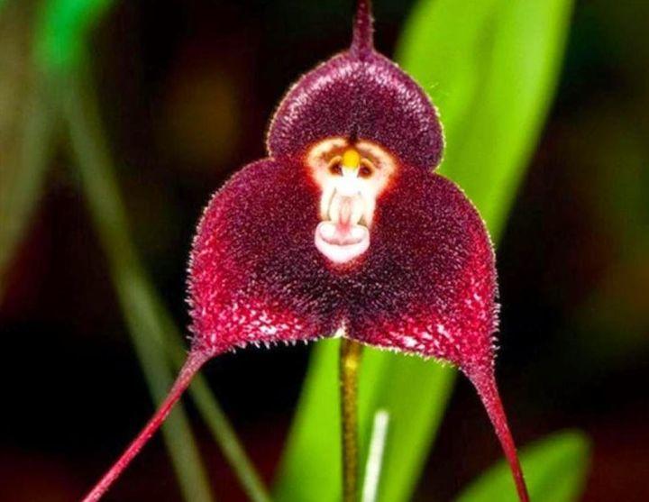 不要被它欺骗了,以为它是个猴子,其实这是一种十分稀有的兰花品种图片