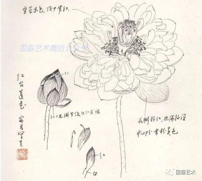 图文教程:荷花画法详解