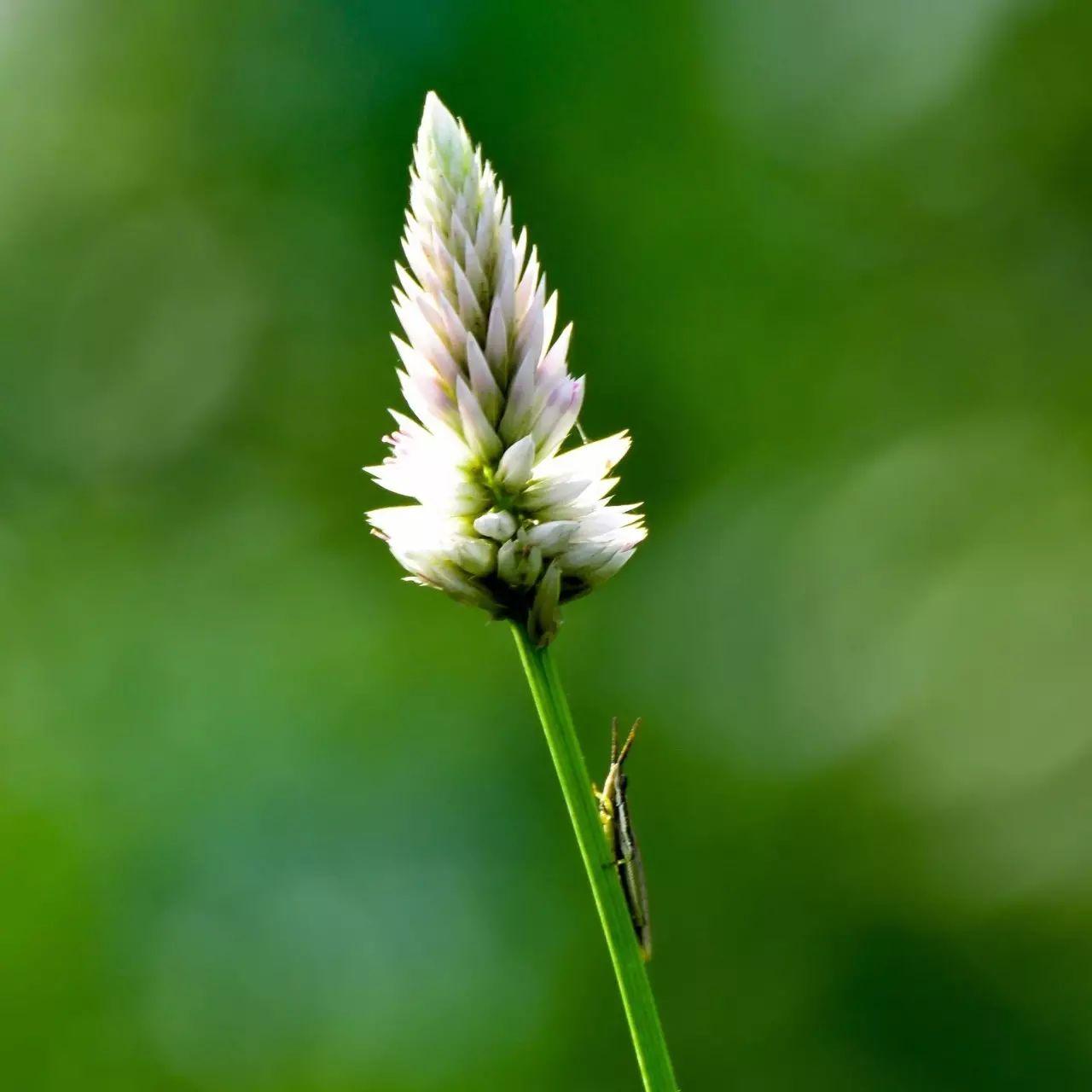 见过鸡冠花吗,知道它的前身是谁吗 - 老泉 - 把酒临风的博客