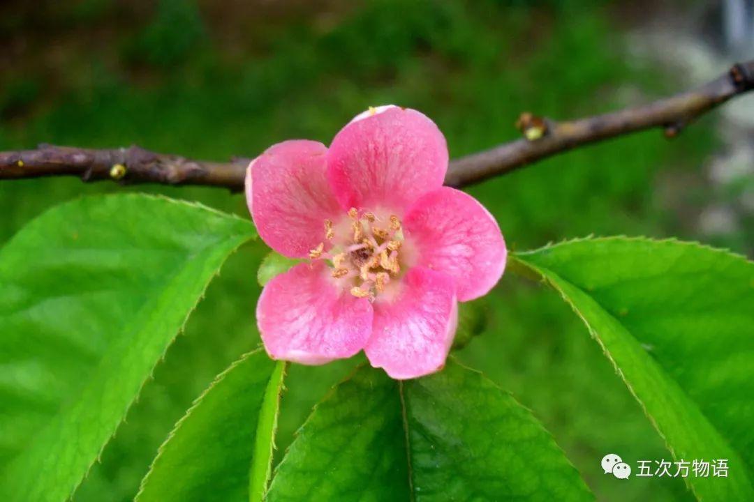 《诗经》中的木瓜、木桃和木李都是