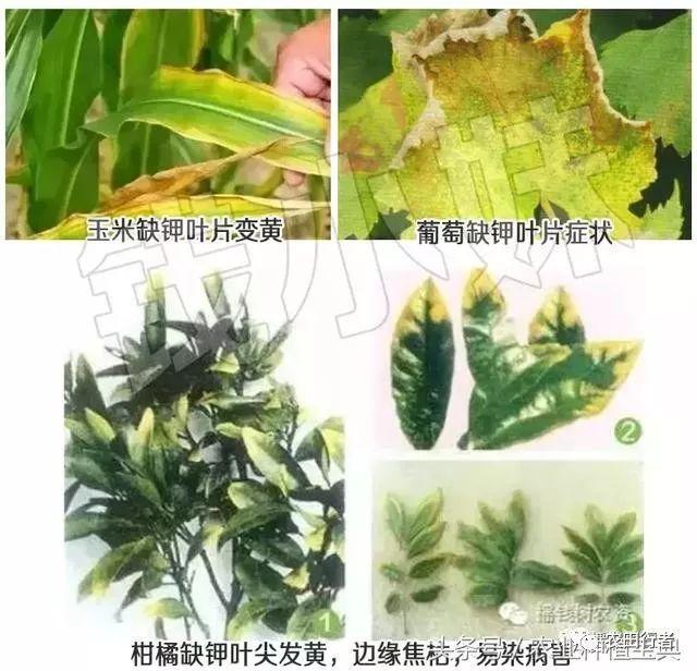 3,双子叶植物叶片卷曲,逐渐皱缩,有时叶片残缺,但叶片中部仍有绿色图片