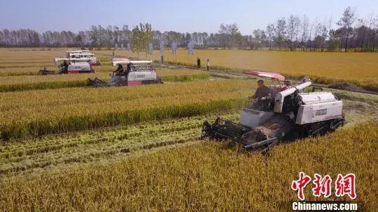 【市縣】揚州萬畝晚稻開鐮收割 金黃稻田展秋日豐收畫卷