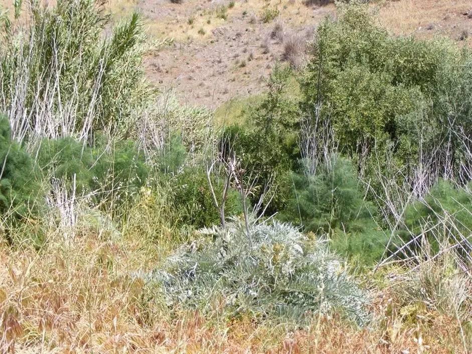 油橄榄是全世界范围内种植量最大的果树之一,种植面积是苹果树
