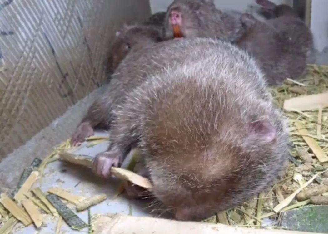 """华农兄弟残忍吊着竹鼠,晒变异""""白竹鼠"""",网友:很可爱,吃了!"""