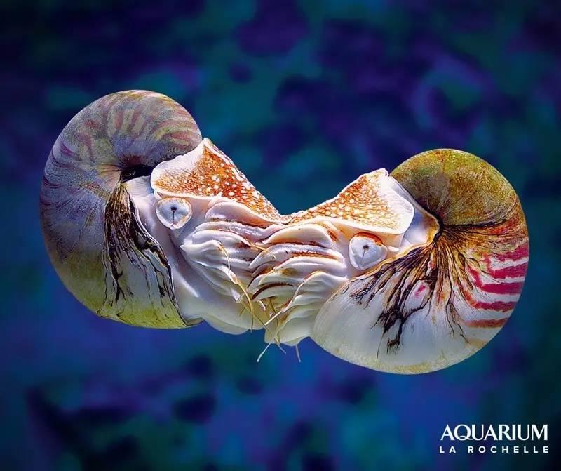 吃过那么多章鱼,你见过带壳的吗? - 老泉 - 把酒临风的博客