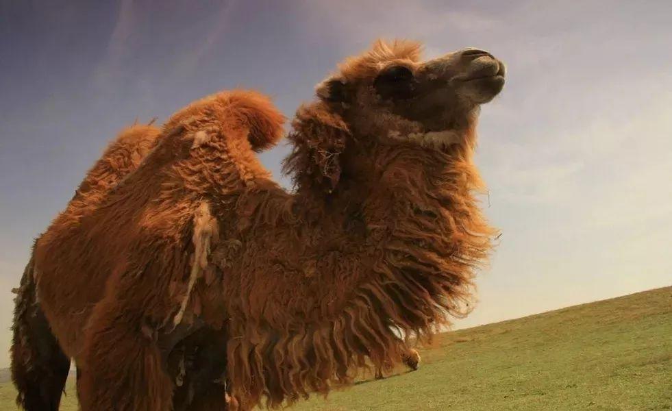 来一次亲密接触   ▽   这里有可爱的马界柯基—— 小矮马,小短腿自