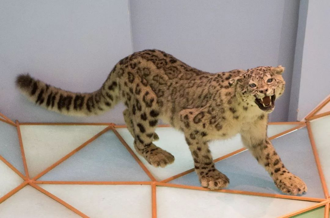 d组:可能是中国数量最少的猫科动物
