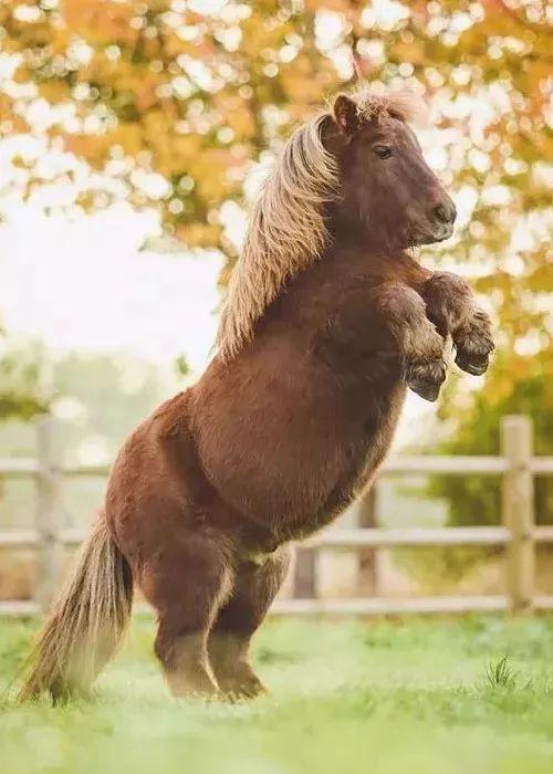 来一次亲密接触   ▽   这里有可爱的马界柯基—— 小矮马,小短腿