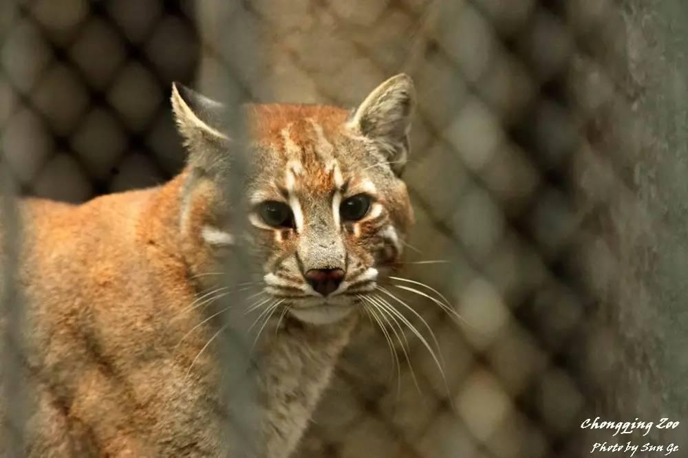 这种猫科动物,全世界动物园只剩50只