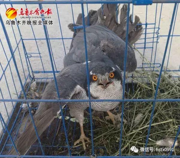 翅膀受伤无法飞行,国家二级保护动物雀鹰落难获民警救助