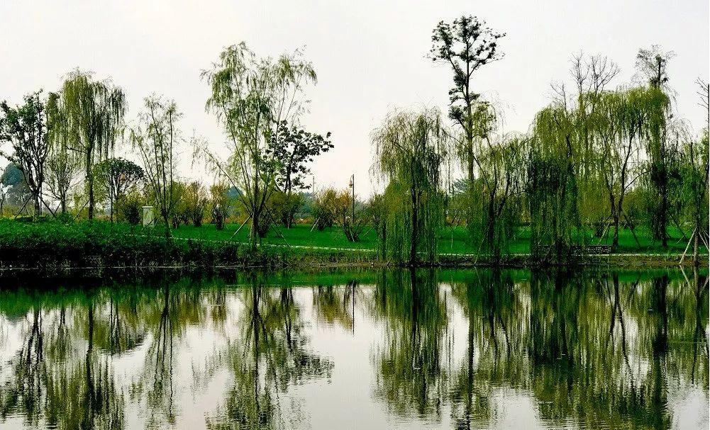 大量白鹭飞回新津,白鹤滩湿地公园盛景重现!