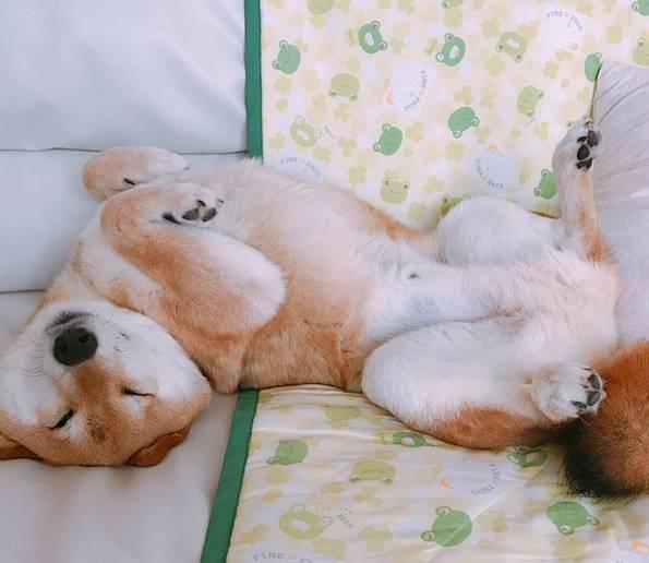 柴犬是有这几种分类的 - 老泉 - 把酒临风的博客