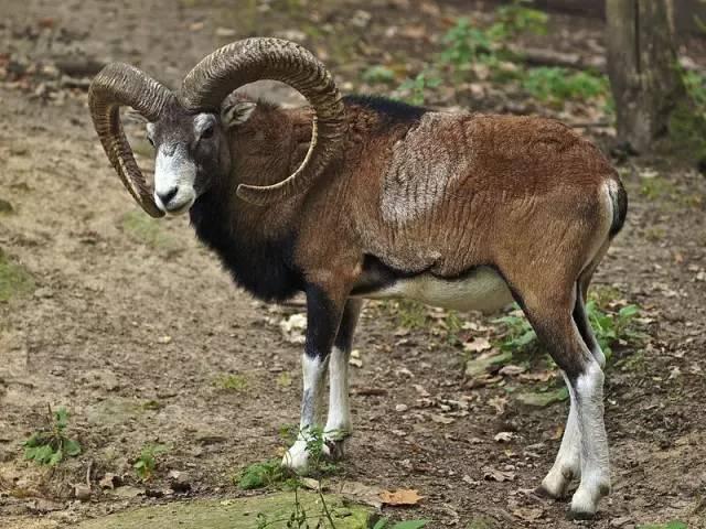你可知道羊的驯化史和人类文明一样长? - 老泉 - 把酒临风的博客