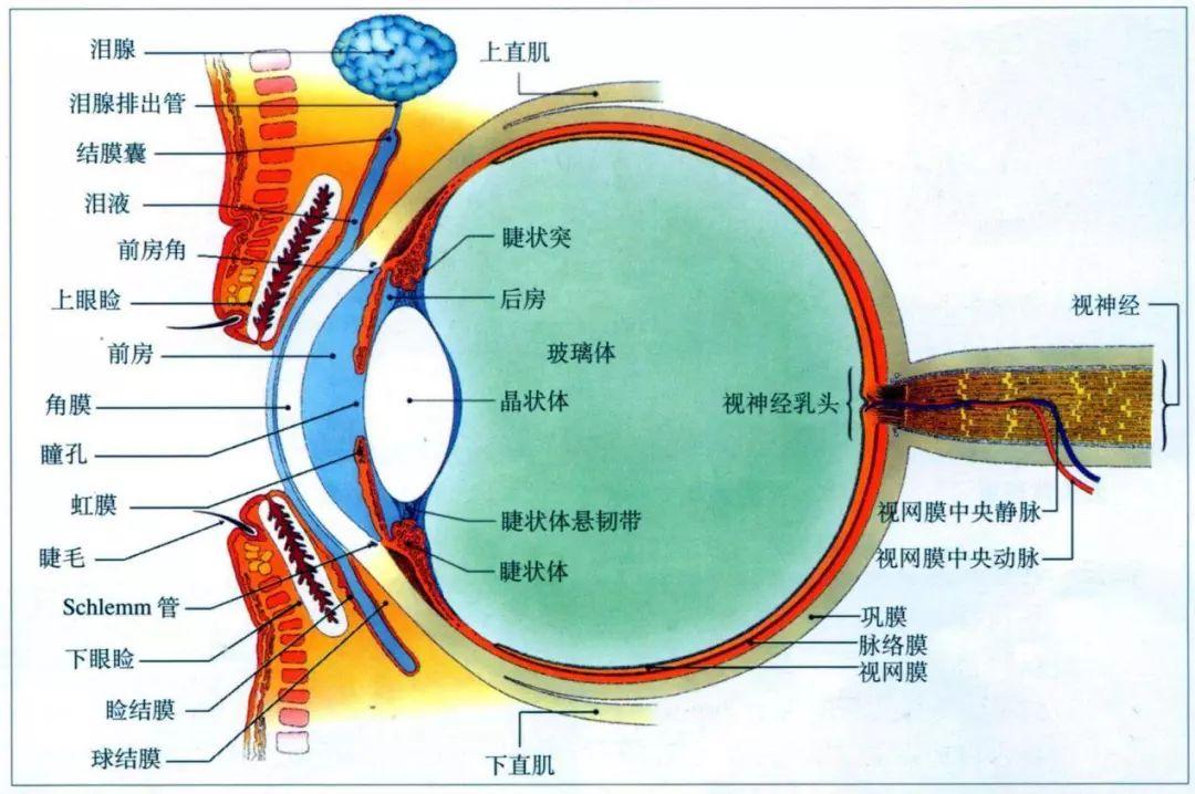 眼球结构图(图片来自网络)