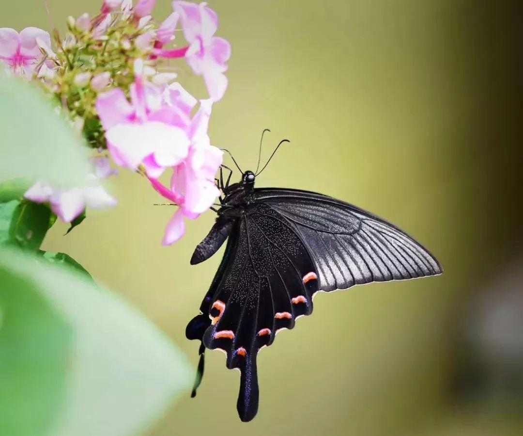 你是否仔细观察过蝴蝶的身体构造?   蝴蝶都是美丽的吗?