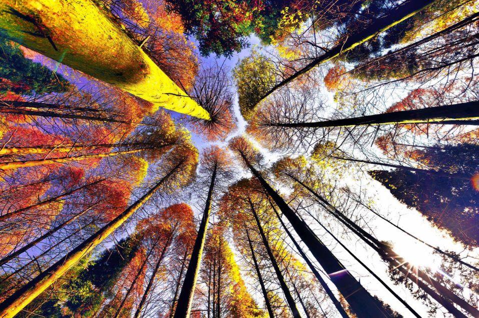 重庆秋天独有的色彩            穿透杉林的光   时而直接豪放
