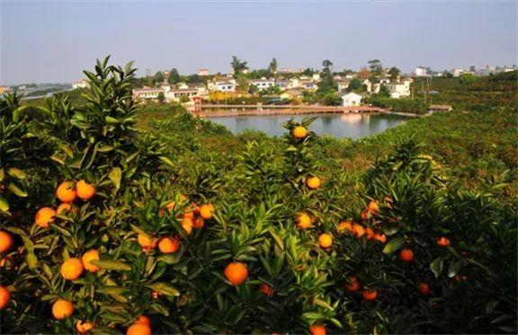 優選生活:贛南臍橙之旅