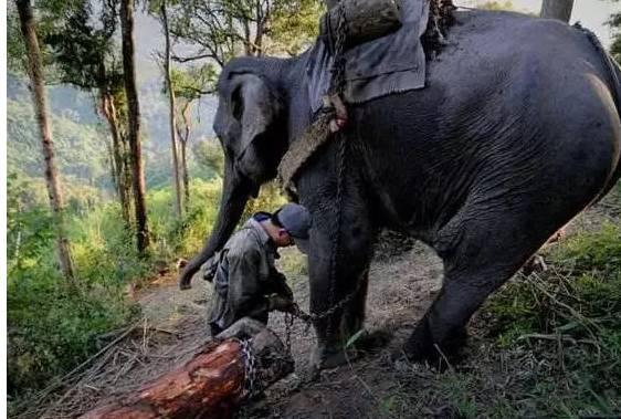 中国订单太多,大象运木材被活活累死