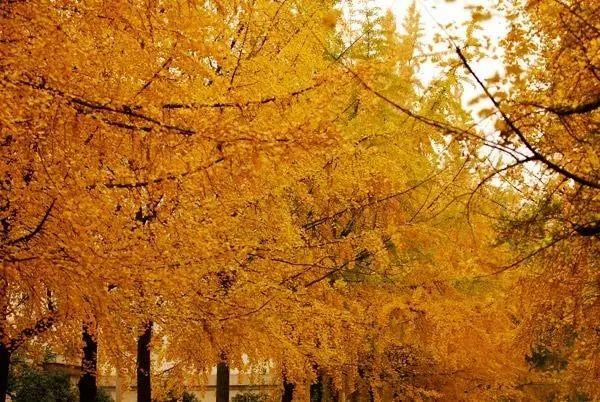 电子科大(清水河校区)      清水河校区的银杏   每年都能吸引图片