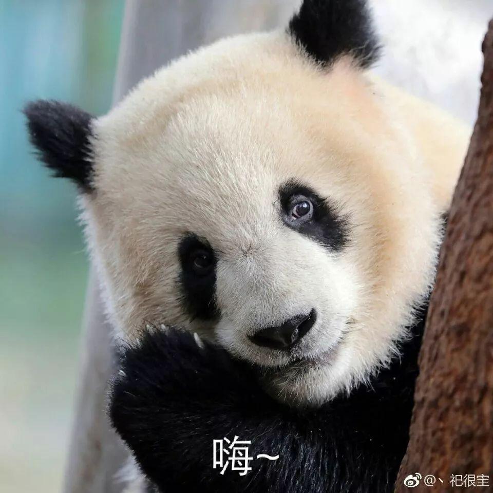 ▼            嘿嘿嘿   ▼            委屈,我只服熊猫!