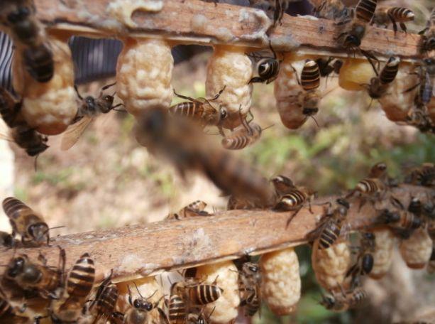 蜜蜂v蜜蜂,蜂脾原因出现王台?老蜂农告诉你中央蜘蛛侠蜥蜴图片