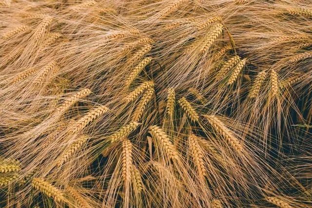 像一株顽强不息的大麦一样,开启新的一年吧 - 老泉 - 把酒临风的博客