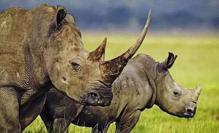 动物园 爪哇犀牛