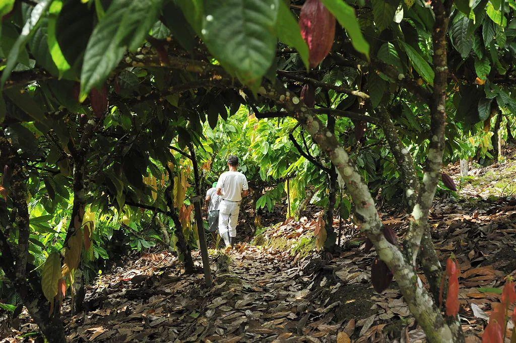 ▼      可可树   ▼   可可树的果实是直接生长在树干上的   并且