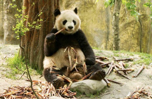 其中,国家重点保护野生动物145种,拥有包括大熊猫,川金丝猴,雪豹等