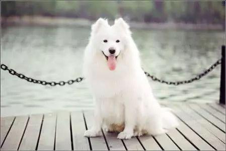 世界上最可爱狗,二哈竟然没上榜,你的狗在排名榜内吗?