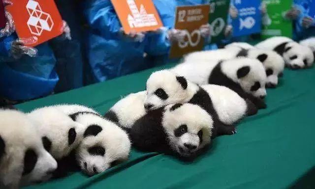 萌萌哒,可爱哒大熊猫一直是萝莉妹非常喜爱的动物,趁着这个国庆去看看